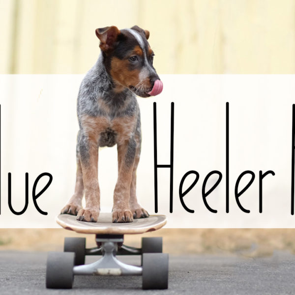 My Blue Heeler Puppy || VLOG 022